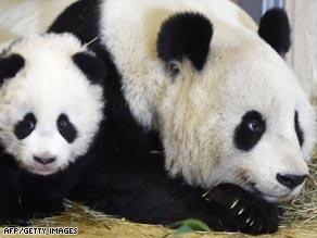 Panda with Cub